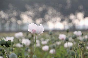 Feld mit rosa Mohn von Esther Leijten-Kupers