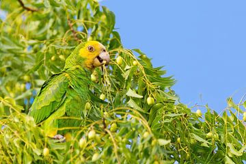 Geelvleugelamazone papegaai in top van boom met groene bladeren en vruchten van Ben Schonewille