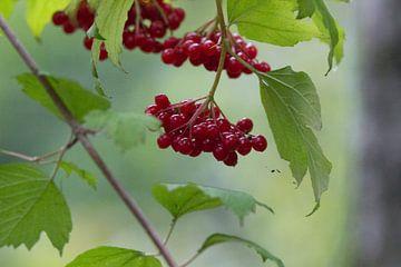Rode bessen in de herfst van de kardinaalsmuts - Euonymus van whmpictures .com