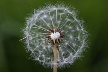 Dandelion sur