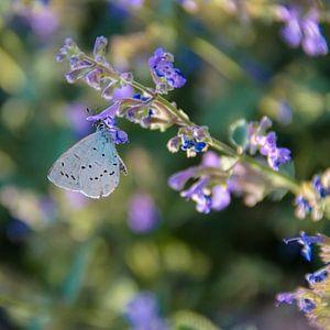 Vlinder op lavendel van Marjan Noteboom