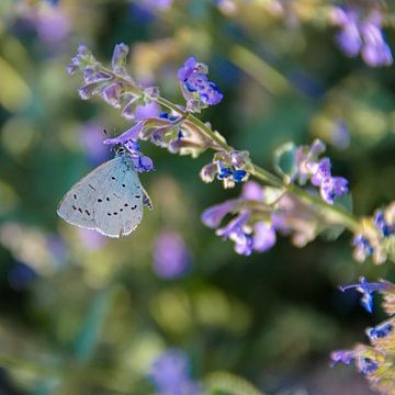 Vlinder op lavendel von Marjan Noteboom