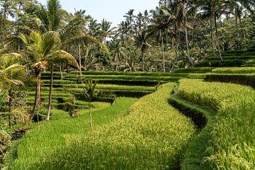 Rijstterrassen bij Ubud, Bali, Indonesië van Peter Schickert