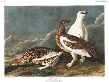 Alpensneeuwhoen van Birds of America