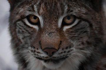Gros plan sur le lynx, grands yeux, sourire satisfait. sur Michael Semenov