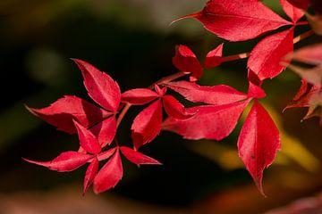 Zweig mit roten Blättern der Wilden Weinrebe