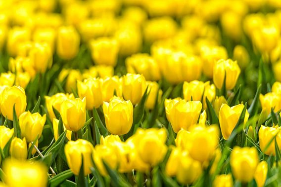 Gele Tulpen van Sjoerd van der Wal