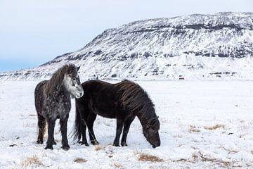 Cheval islandais sur Tilo Grellmann