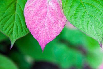 Rosa Blatt der Kiwi-Zierpflanze von Tot Kijk Fotografie: natuur aan de muur