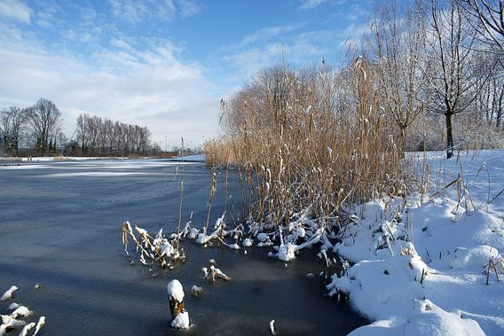 Rietkraag in winters landschap met sneeuw en ijs.