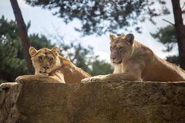 Des lionnes africaines sur le roc sur Rob Legius