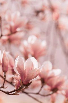 Magnolia-bloemen van Jan Schuler