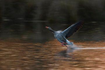 Greylag Goose ( Anser anser ) running over water, taking off van wunderbare Erde
