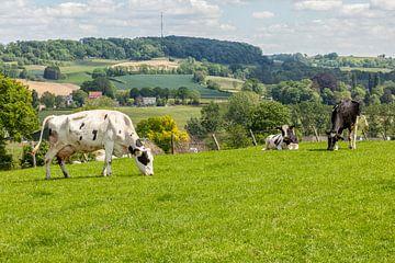 Grazende koeien op de heuvels van Zuid-Limburg van John Kreukniet