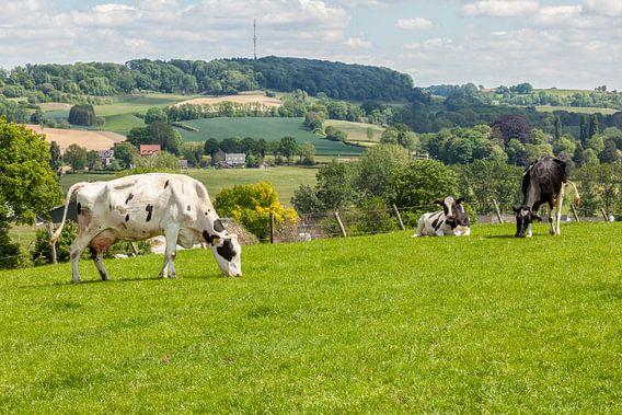 Grazende koeien op de heuvels van Zuid-Limburg