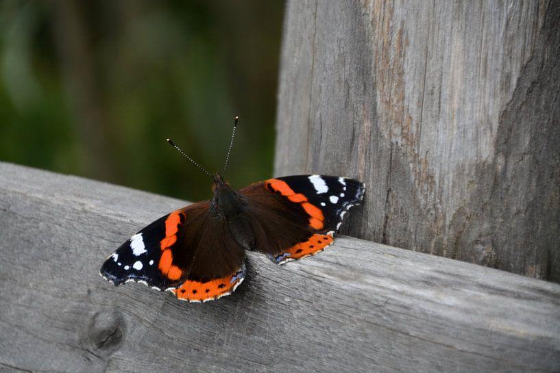 Atalanta (vlinder) van FotoGraaG Hanneke