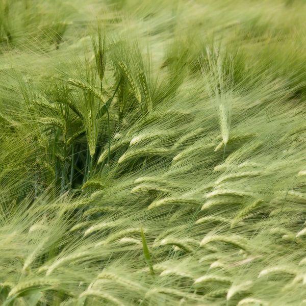 Wuivend koren van Ellen Driesse