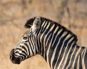 Zebra in Krugerpark van
