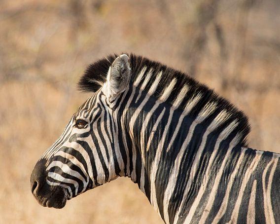 Zebra in Krugerpark van Cor de Bruijn
