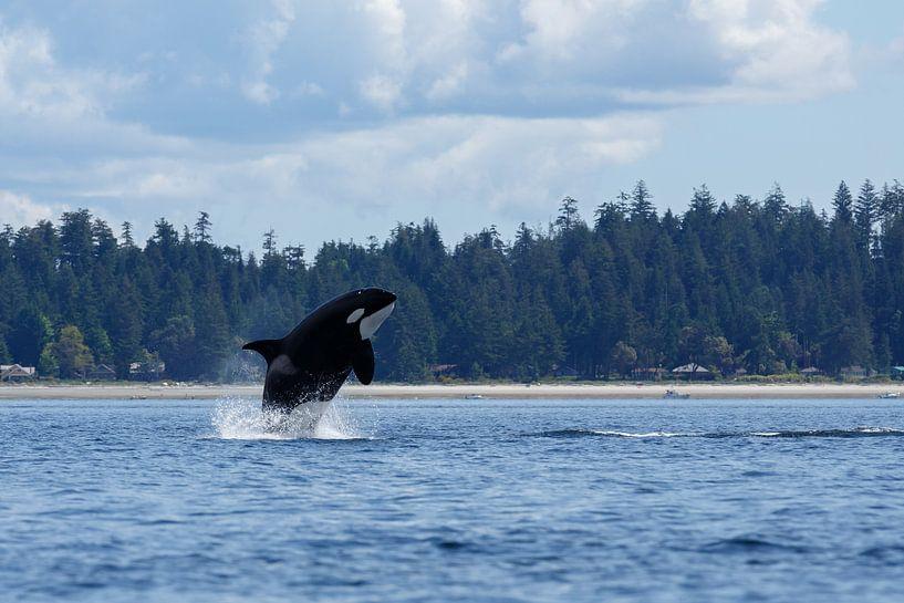 Orka springt uit het zeewater van Menno Schaefer