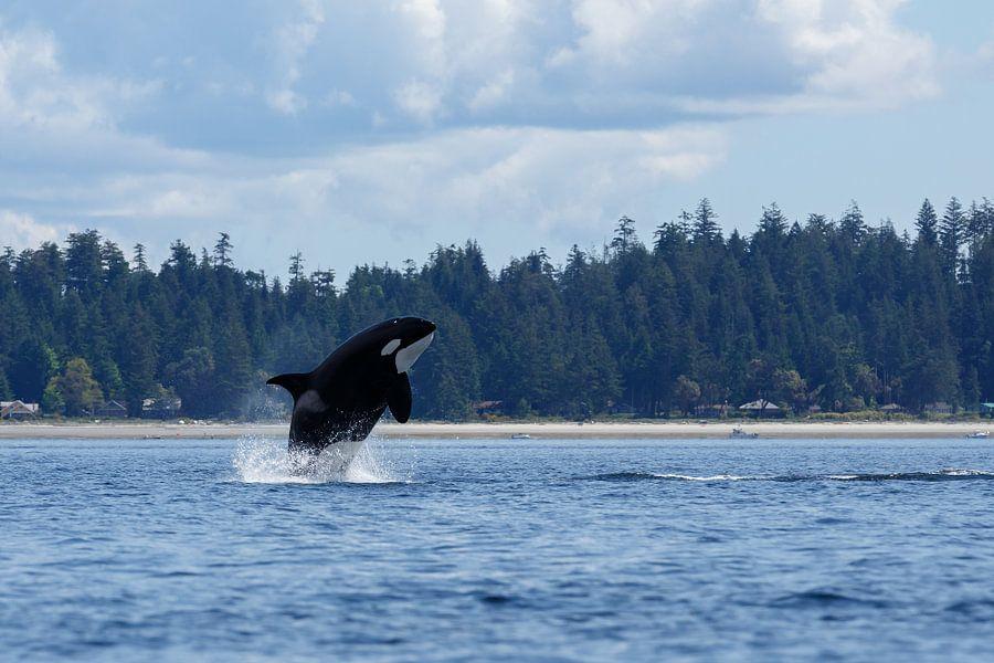 Orka springt uit het zeewater