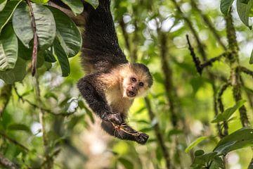 Capuchin Monkey met Sprinkhaan