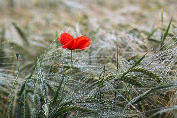 Mohnblume im Kornfeld nach dem Regen von Elke Wolfbeisser