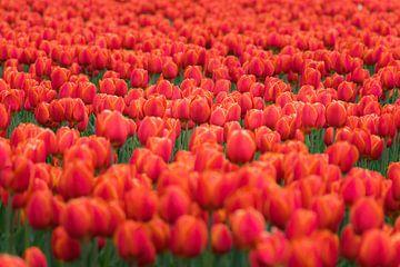 Veld rode tulpen van Patrick Verhoef
