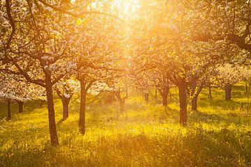 """ Blütentraum ""Apfelhain im Sonnenuntergang van Jiri Viehmann"