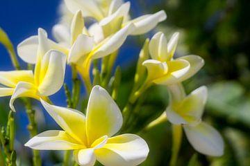 Witte bloemen en een blauwe lucht van Nathan Okkerse