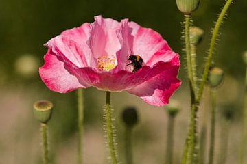 Eine Mahlzeit für eine Hummel in der rosa blühenden Mohnblume von J..M de Jong-Jansen