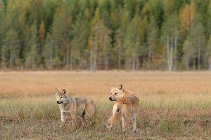 Zwei junge Wölfe von Nanda Bussers