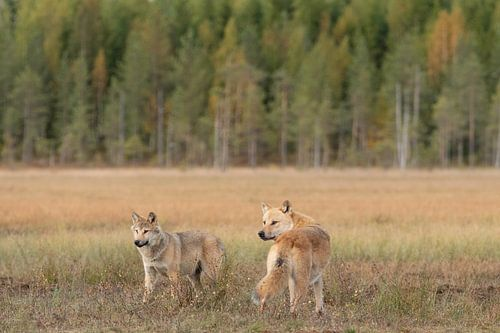 Twee jonge wolven