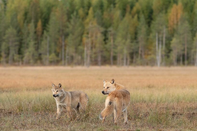 Twee jonge wolven van Nanda Bussers