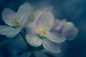 Apfelblüte von Steffen Peters