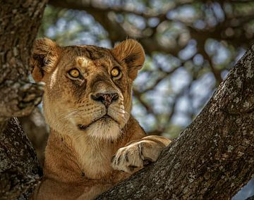 Porträt eines Löwen in einem Baum von Erwin Floor