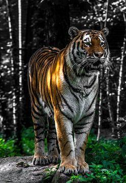 Tigre sur Sjoerd Van der Pluijm