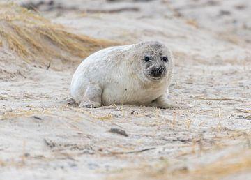 Jonge grijze zeehond op Helgoland van Sven Scraeyen