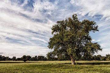 Oude boom von Jan de Jong