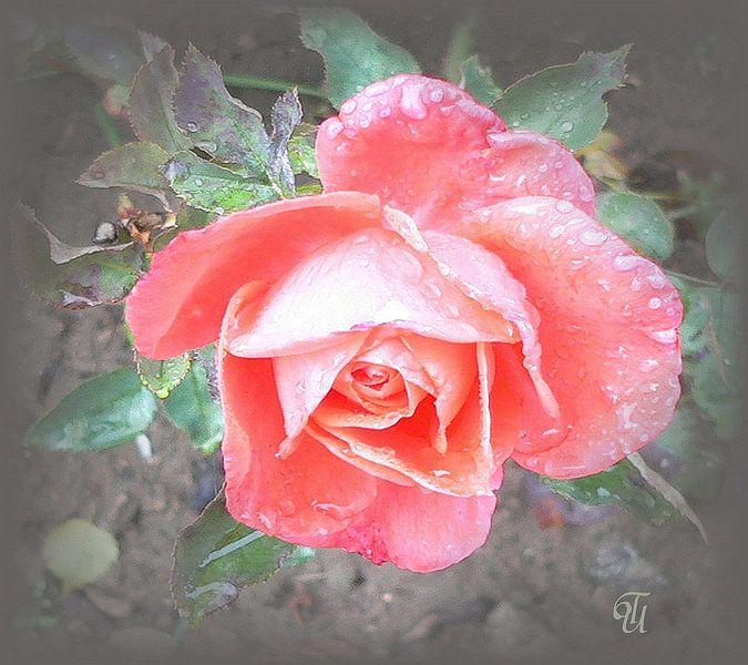 zarte Rose sur Thea Ulrich / UtheasArt