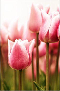 Tender Tulip von Corina de Kiviet