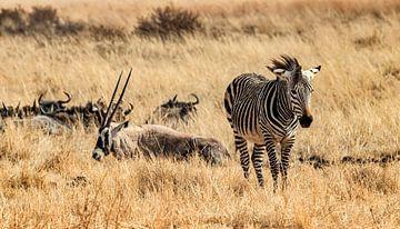 Zebra: Landschap Afrika... van Rob Smit