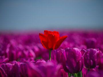 tulp, rood in een zee van paars van Chris Es, van