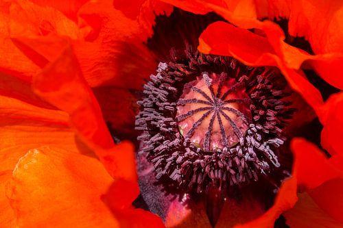 Rode klaproos, Papaver orientale  van 7Horses Photography