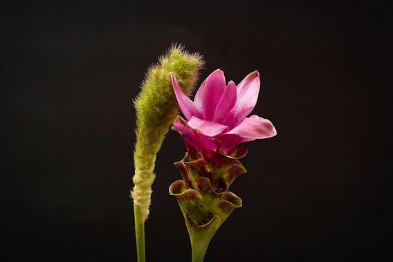 Carcuma met siergras. prachtige snijbloem ook wel Thaise tulp genoemd