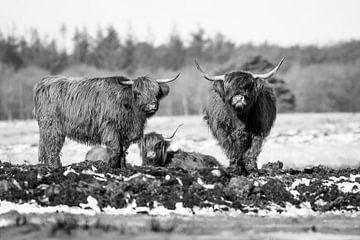 Schotse Hooglander van Koos de Vries