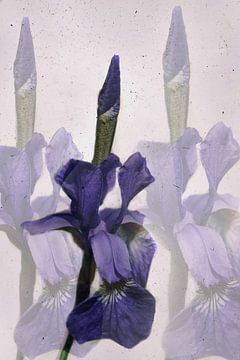 Sibirische Iris von Christine Nöhmeier