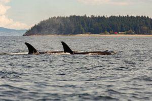 Twee orka's