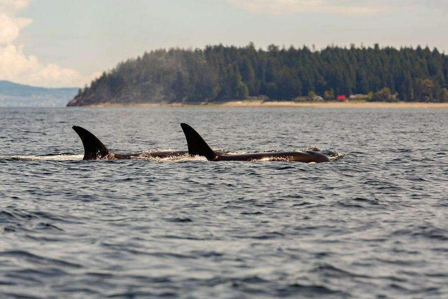 Twee orka's van Menno Schaefer
