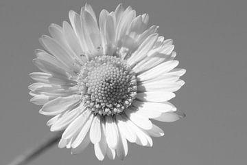 Madeliefje (Daisy Flower B&W) von Sander Maas